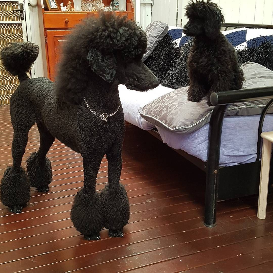 Poodle Line Up 4 Weeks Old Poodle Puppies For Sale Dry Creek