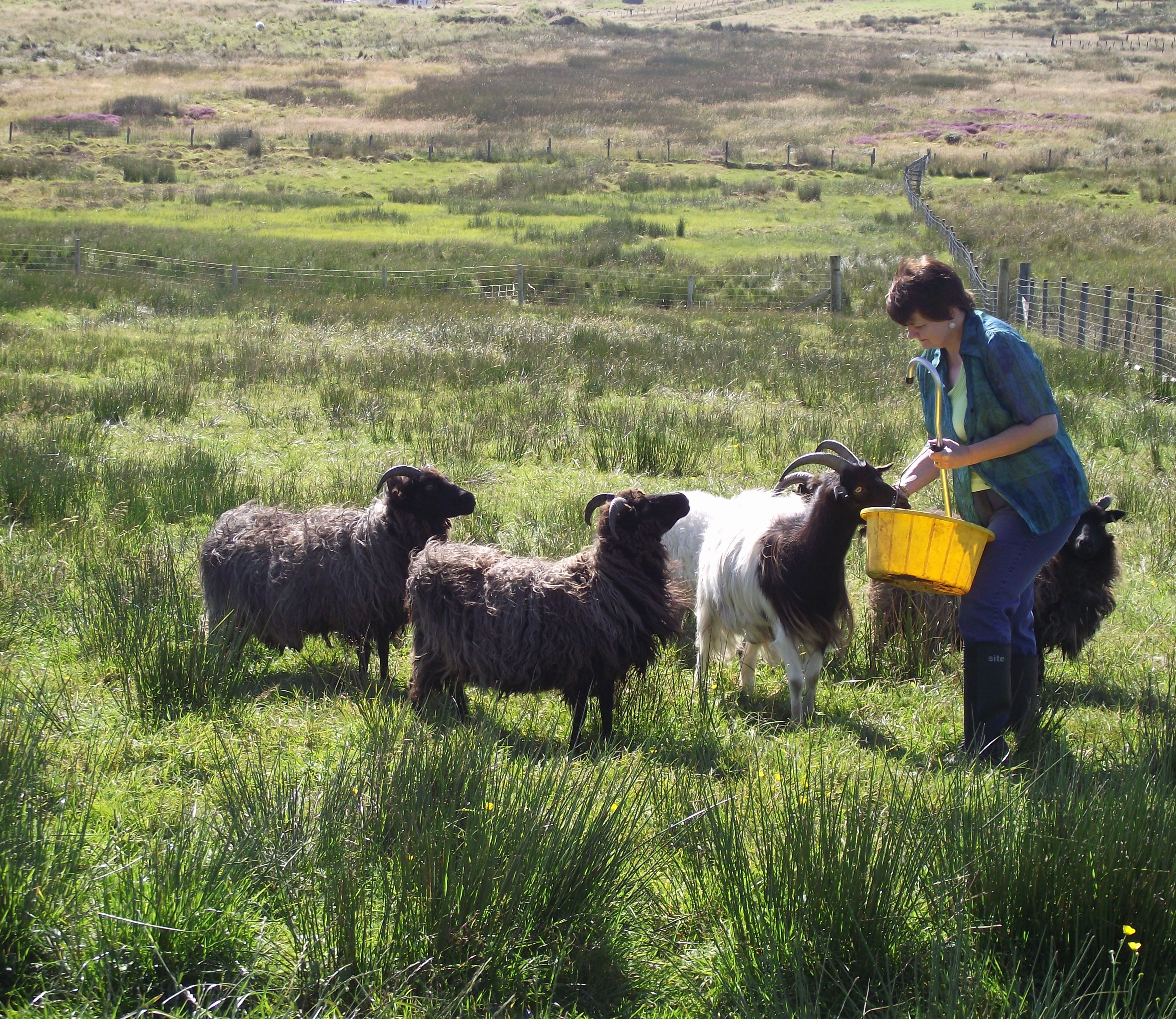 Chris Hammacott with her sheep on her croft on the Isle of