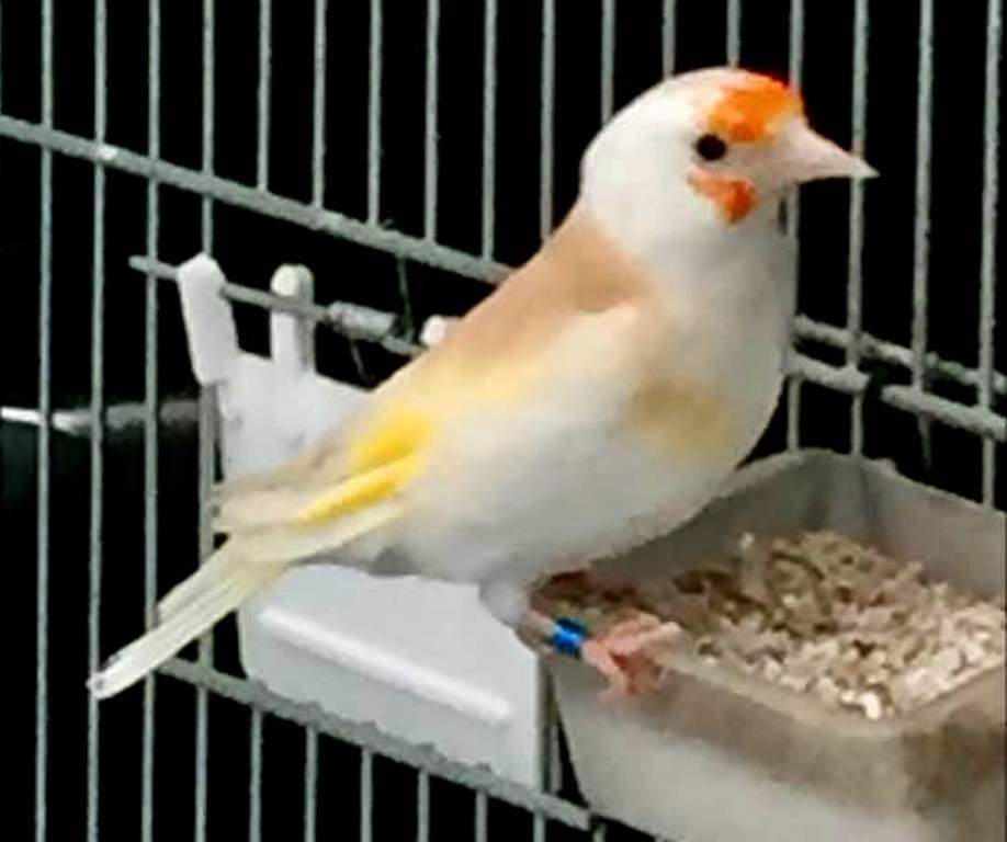 3 Le Chardonneret Le Plus Beau Oiseau 3 ماشاء الله Https Www Youtube Com Bilelseg Https Www Facebook Com Chardonneretbilelkios Https Www In Tiere