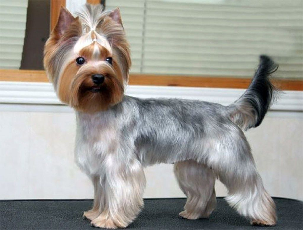 Yorkie Haircuts Pictures And Select The Best Style For Your Pet Pertaining To Types Of Yorkie Haircuts Jpg 1024 778 Yorkie Haircuts Yorkie Yorkie Puppy