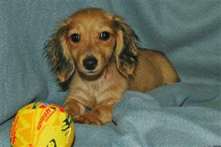 Busy B Doxies Miniature Dachshund Puppy For Sae Dachshund