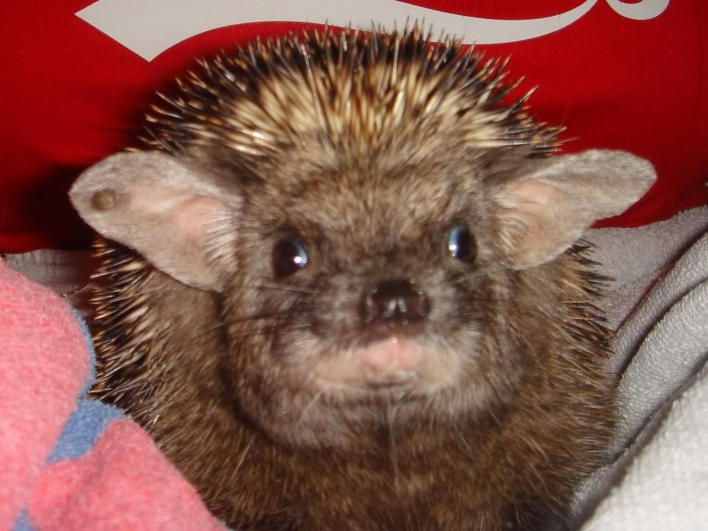 indian long eared hedgehog Google Search Ежики