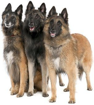 Belgian Sheepherd Dog | belgian shepherd amalawa dog ofbelgian shepherd belgian shepherd ...