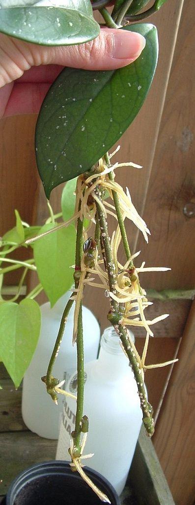Wachsblume Vermehren Pflanzen In Wien Pinterest