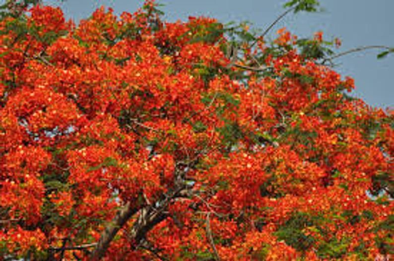 Royal Poinciana seeds Gulmohar Delonix Regia tree Flame | Etsy in 2020 | Unique trees. Fast growing trees. Beautiful flowers garden