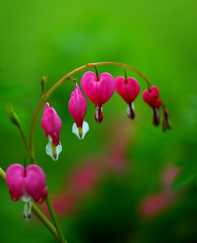 Bleeding Hearts My Mom Grew These Outside My Window When I Was Younger Bleeding Heart Flower Bleeding Heart Flower Essences