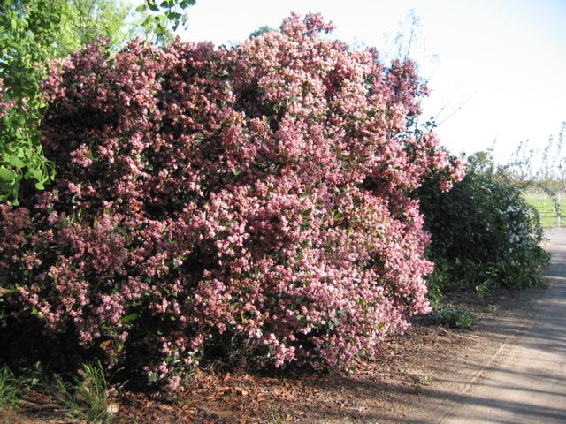 Pin By Patty Hume On Client Project Evergreen Trees Shrubs With Pink Flowers Beautiful Gardens Shrub Image Shrubs