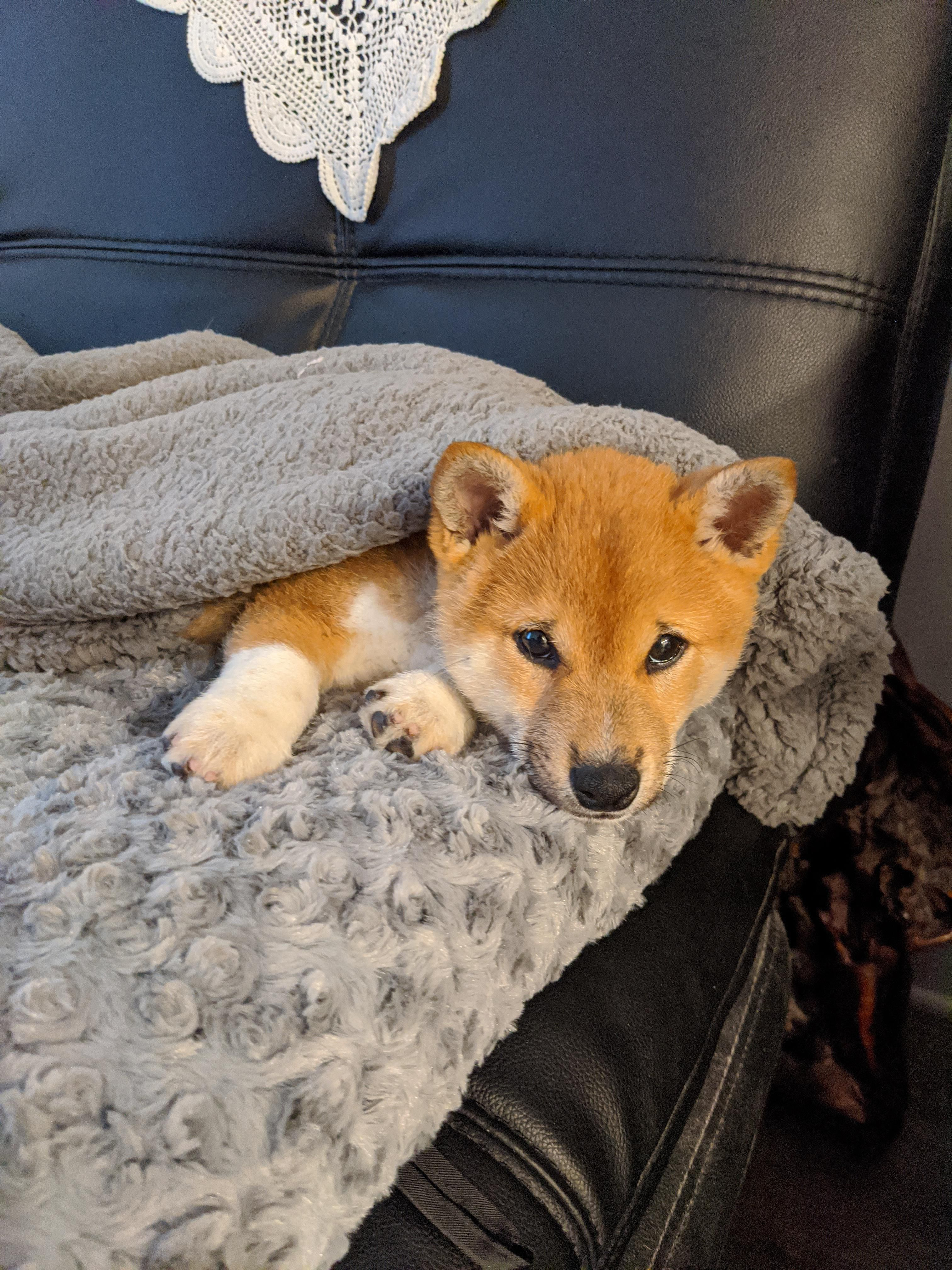 Don T Let That Face Fool You Mycroft Is One Very Naughty Pup Shibainu We 3 Shiba Inus In 2020 Shiba Inu Puppy Breeds Shiba Inu Corgi Mix