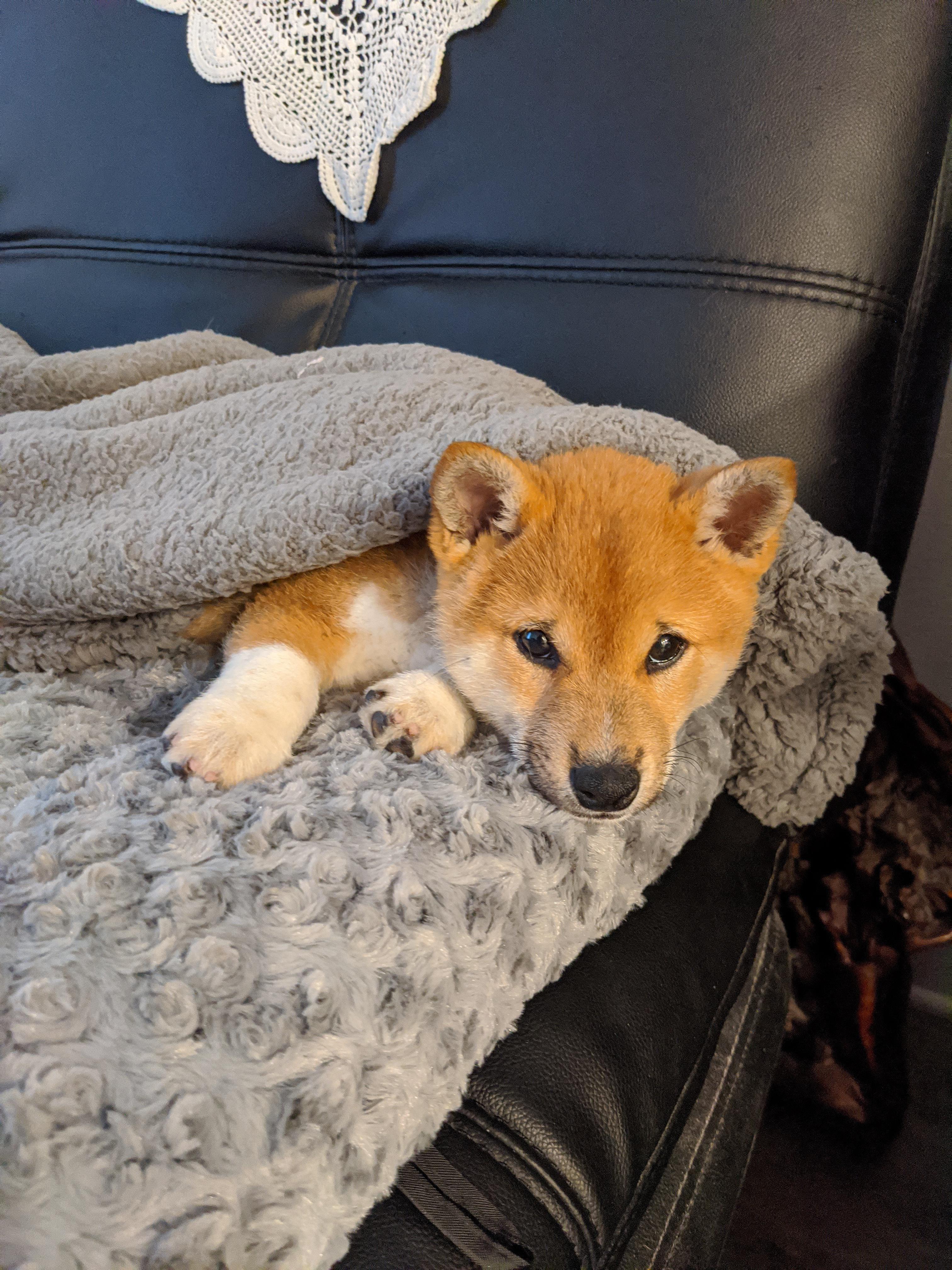 Corgi Shiba Inu Mix In 2020 Shiba Inu Cute Puppies Puppy Breeds