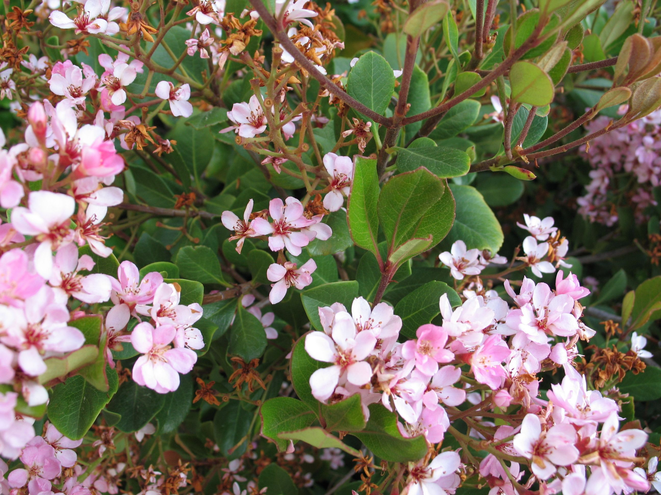 Indian hawthorn is a beautiful plant that can provide a