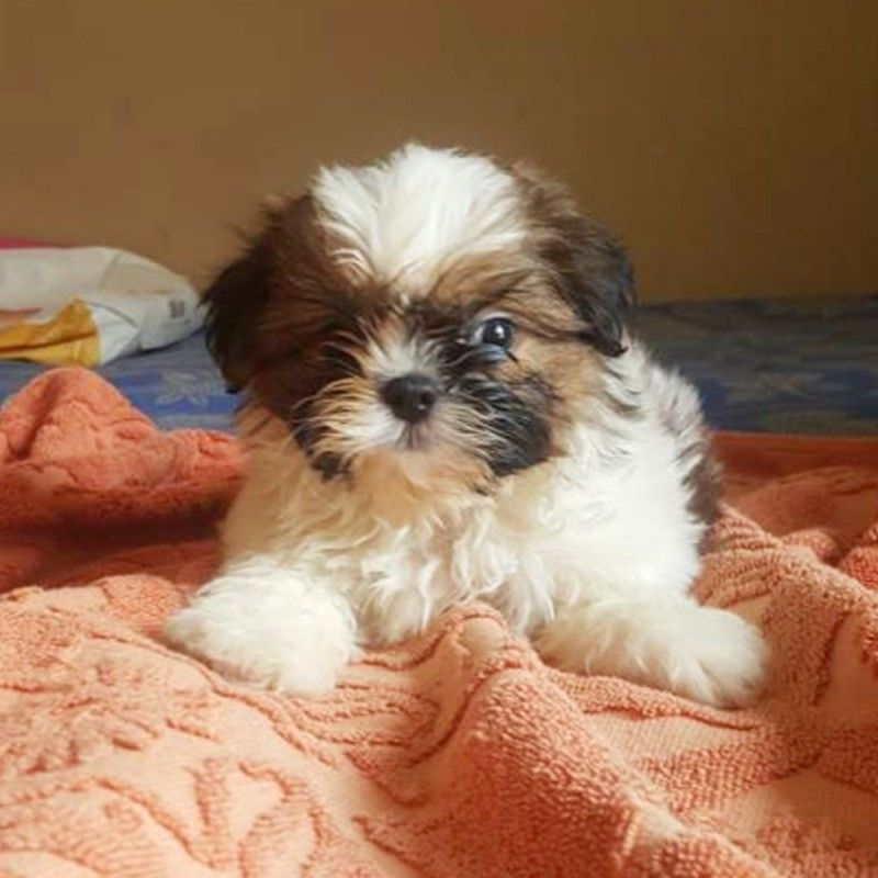 Top 5 Best Shampoos For Shih Tzu Puppy In 2020 Shih Tzu Puppy