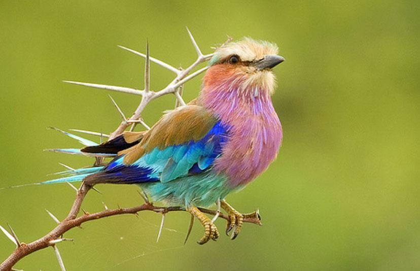 Lilac-Breasted Roller (Coracias caudatus) The National Bird of Botswana - Pixdaus