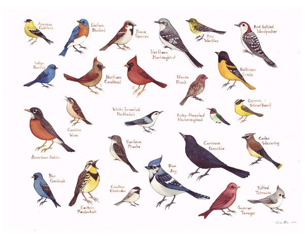 eastern north carolina birds field guide style watercolor painting rh pinterest com backyard songbird guide for sale Back Yard Winter Birds