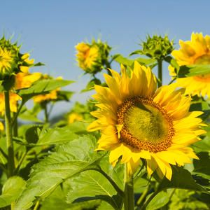 Mandan N D 2016 39 S Sunflower Crop Had A Record Breaking Yield The Usda Report On 2016 Sunflower Crop Production Rele Sunflower Crop Production Records