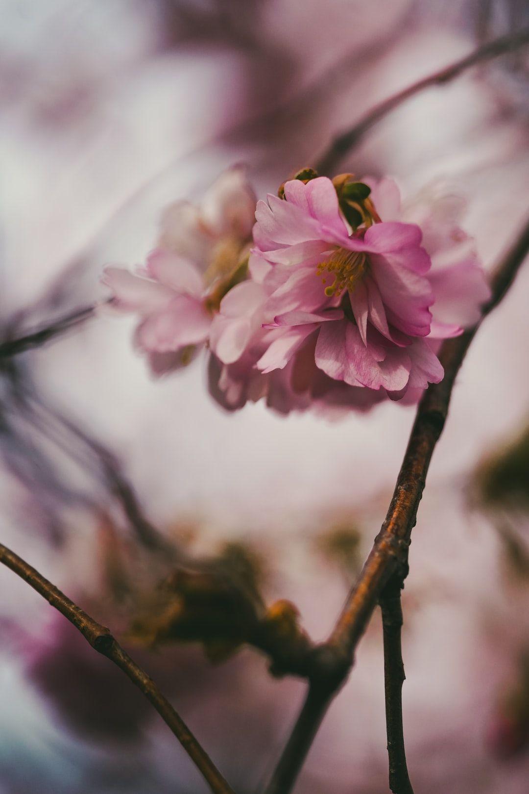 Cherry Blossom Cherry Blossom Tree Sakura Cherry Blossom Cherry Blossom