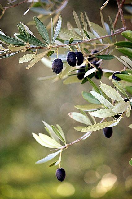 olivo y aceitunas negra ( dviribedvakumpira on Flickr)