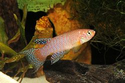 Annual killifish from South America not only sport amazing looks, they have fascinating life cycles. One killifish enthusiast profiles the different species and offers breeding advice on these wonderful fish.