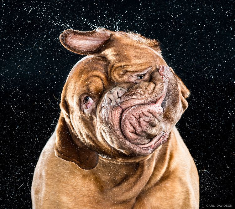 Dogue De Bordeaux Old Dog New Tricks Large Birthday Greeting Card Dog Lovers