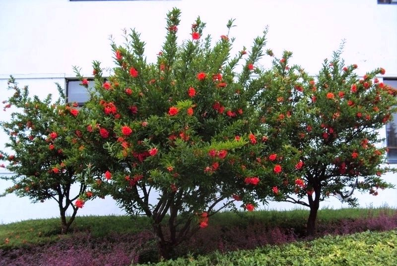 Flowering Doubleflowered Pomegranate Trees Fruit