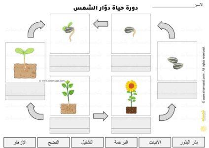 اوراق عمل دورة حياة نبات دوار الشمس علوم للأطفال 3 Paper