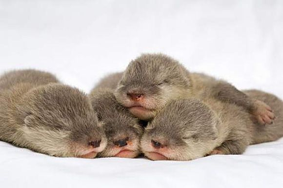 How many baby otters can you keep in a bathtub? Hypothetical, of course...