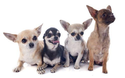 Quer um Chihuahua? Conheça 5 características desse simpático cão anão de origem mexicana!