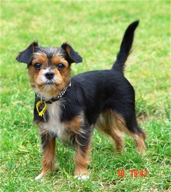 14 Unreal Yorkshire Terrier Cross Breeds You Have To See To Believe Yorkie Yorkie Dogs Toy Dog Breeds