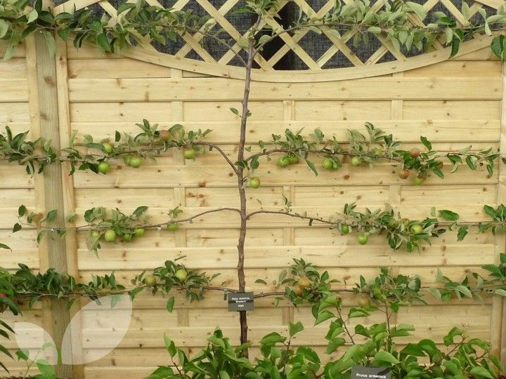 The Term Espalier Refers To The Way Fruit Trees Are Trained To Grow Against A Wall It Makes The