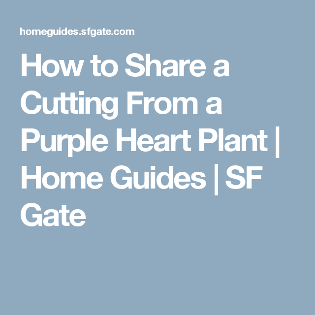 How To Share A Cutting From A Purple Heart Plant Purple