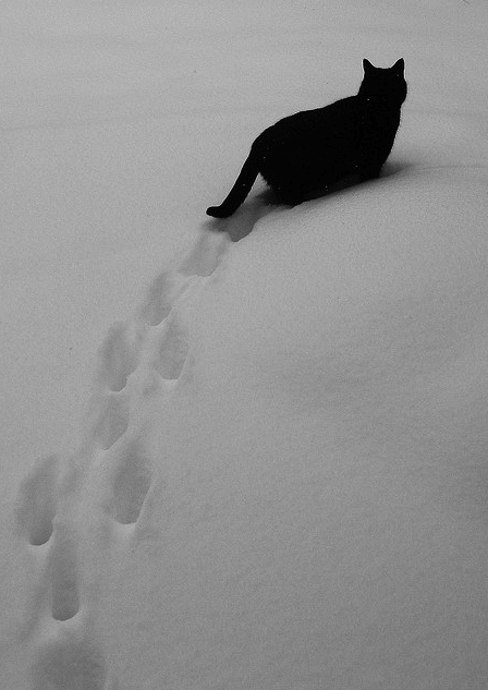Prints in the snow... You can not miss this cat. Beautiful.