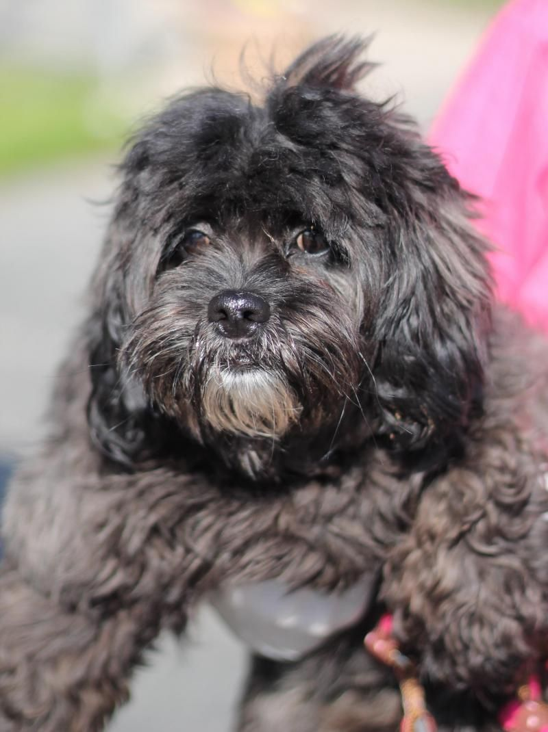Adopt Sophie on Shih tzu dog, Shih tzu mix, Dogs