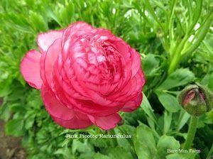 Pink Picotee Ranunculus- Pink petals edged with a darker pink rim.  -Bare Mtn Farm #pinkrims Pink Picotee Ranunculus- Pink petals edged with a darker pink rim.  -Bare Mtn Farm #pinkrims Pink Picotee Ranunculus- Pink petals edged with a darker pink rim.  -Bare Mtn Farm #pinkrims Pink Picotee Ranunculus- Pink petals edged with a darker pink rim.  -Bare Mtn Farm #pinkrims Pink Picotee Ranunculus- Pink petals edged with a darker pink rim.  -Bare Mtn Farm #pinkrims Pink Picotee Ranunculus- Pink petal #pinkrims