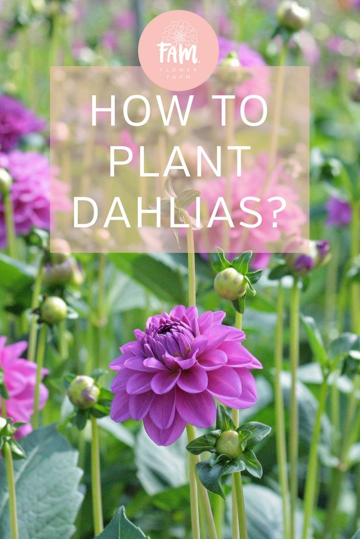 Dahlias Like To Have A Sunny Spot In The Garden Plant Them In The