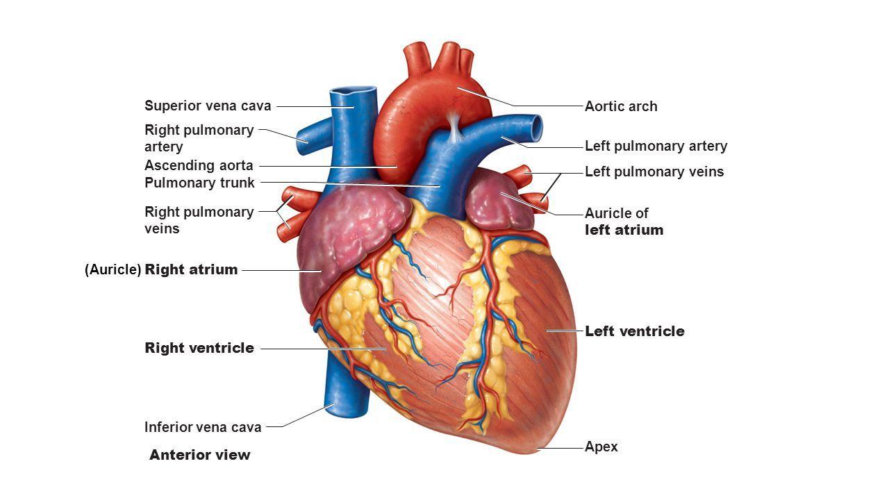 slide_4.jpg (1280×720) | Systems: Cardiovascular | Pinterest