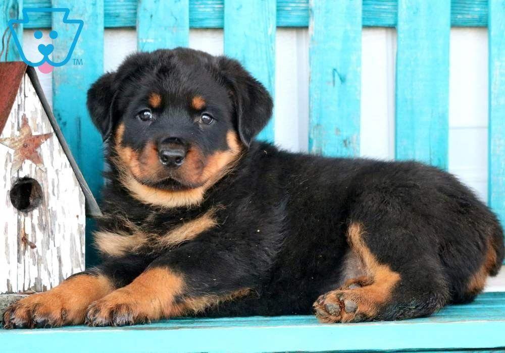 Boss Rottweiler Puppy For Sale Keystone Puppies Rottweiler Puppies For Sale Rottweiler Puppies Rottweiler