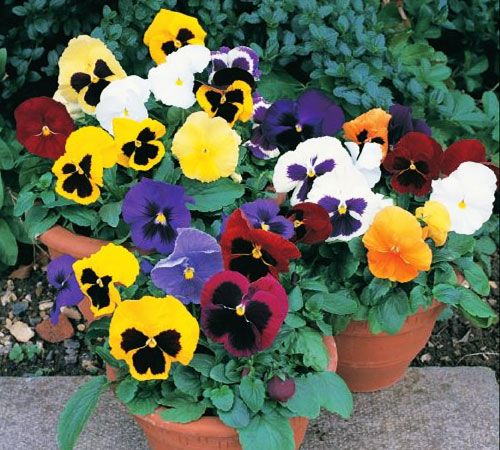 Who Doesn T Love A Pansy Flower Seeds Pansies Flowers Pansies