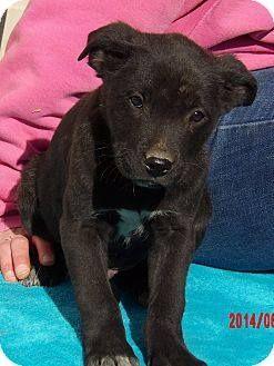 Borador dog for Adoption in Williston, VT. ADN-504416 on PuppyFinder.com Gender: Male. Age: