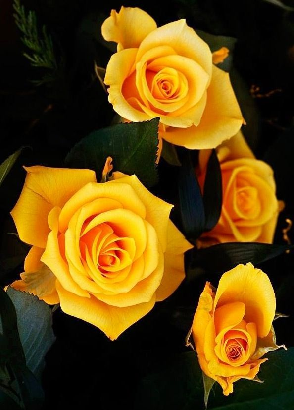Yellow Roses via Lovely Roses Facebook page