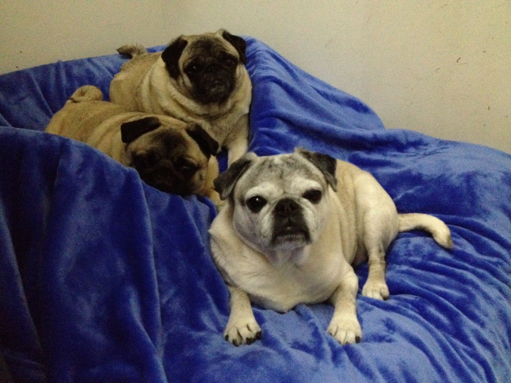 "We ""pug promise"" we will be good while you two go to work (pug fingers crossed)..."