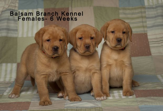 Fox Red Labrador Puppies Six Weeks Old Females Puppies For Sale Fox Red Lab Puppies Balsam Labrador