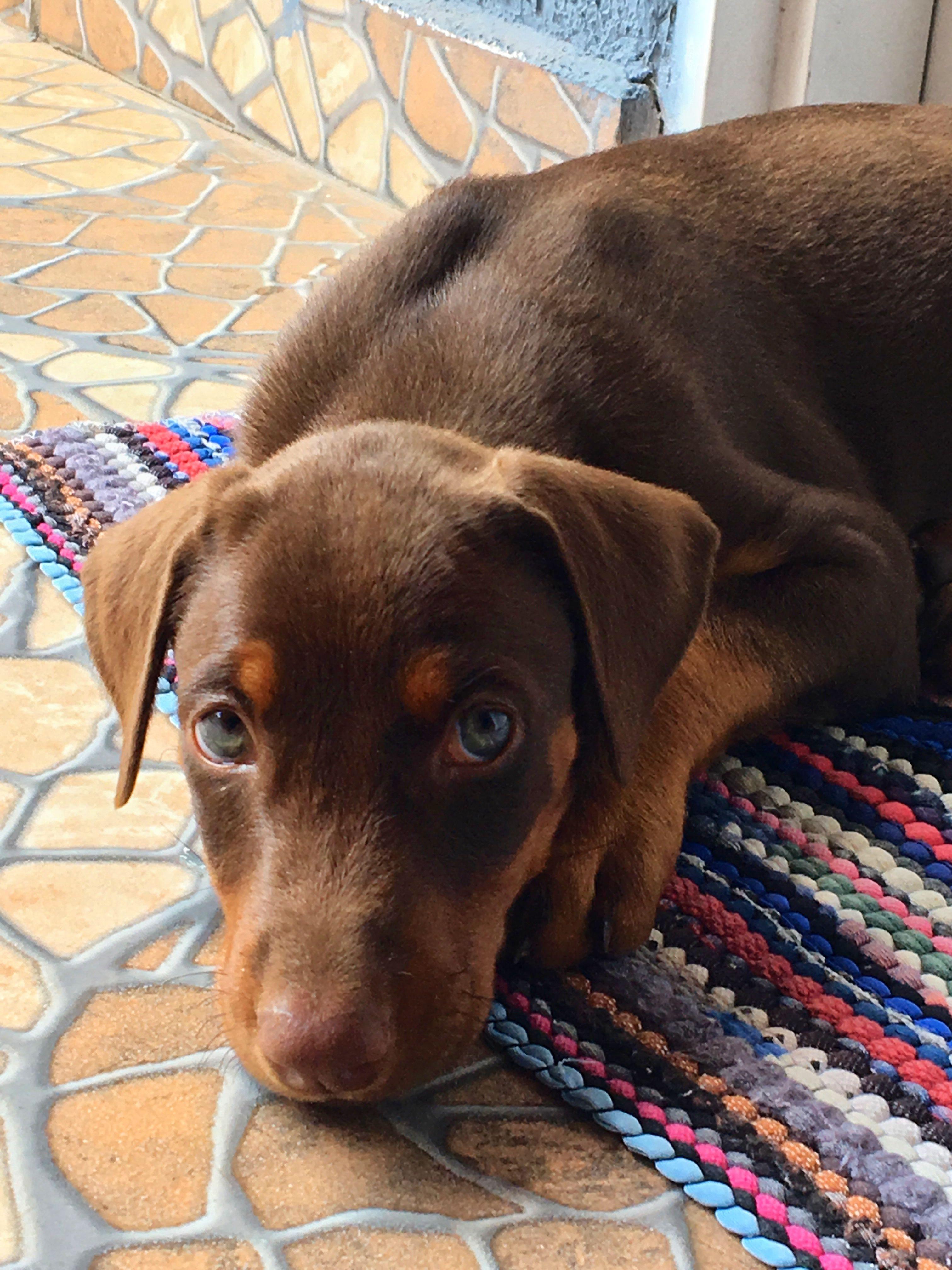 Doberman Cute Dog Baby Dobie Filhote Love Doberman Dogs Labrador Retriever