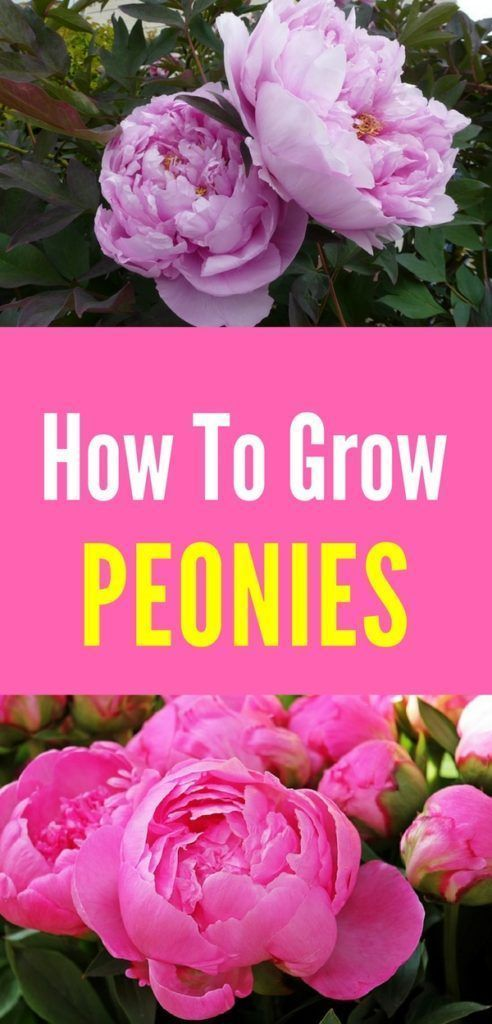 How to Plant and Care for Peonies #steingartenideen