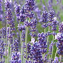 Egal, ob Sommerflieder, Duftjasmin oder Forsythie – viele Blütensträucher lassen sich im zeitigen Frühjahr ganz einfach durch unbeblätterte Stecklinge, so genanntes Steckholz, vermehren.