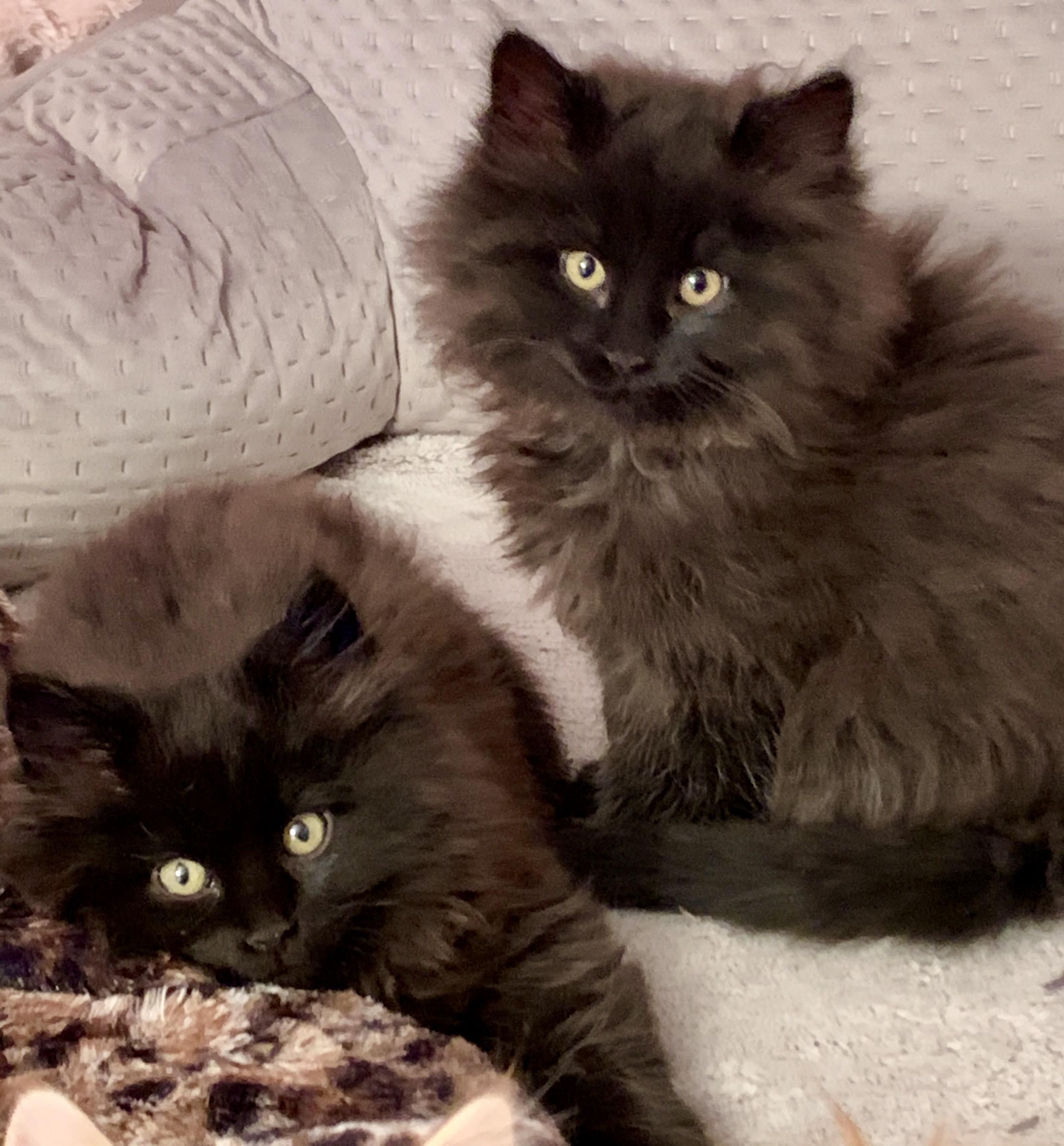 12 Week Old Foster Baby Floofs They Re Almost 3 Pounds Each But I Think Half Of That Is Floof Cute Baby Animals Cute Cats Cute Cats And Kittens