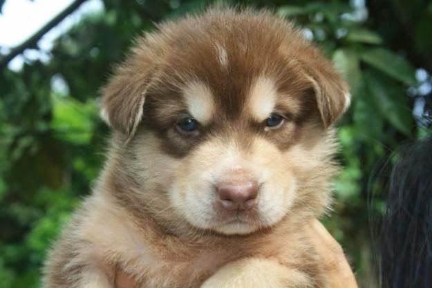 Top Wolf Chubby Adorable Dog - 92b6c1008d216d9de30d76371dc32fc0  Best Photo Reference_165158  .jpg