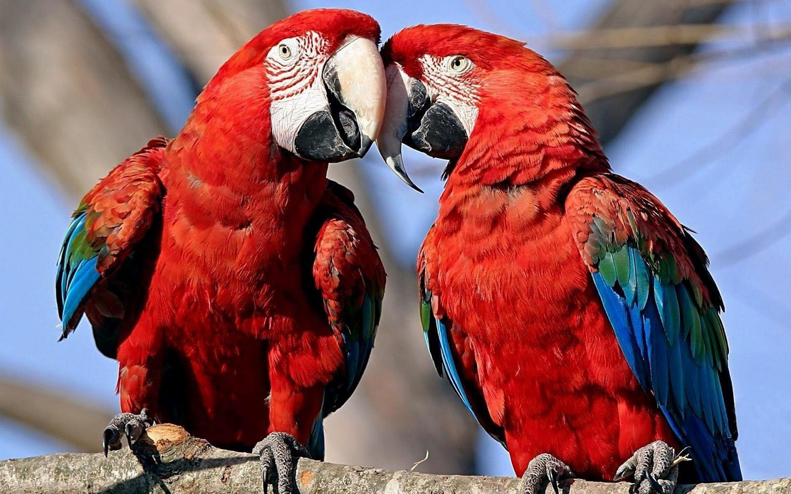 Two Red Parrots Cuddling On A Branch Hd Animals Wallpapers Parrot Animal Wallpaper Macaw Hd wallpaper red and blue parrots