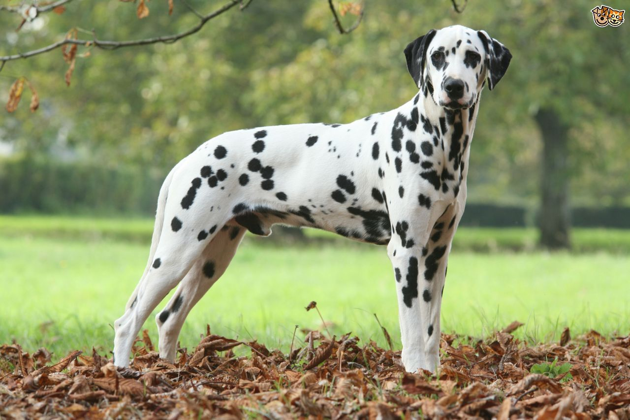 Image result for dalmatian Dalmatian dogs, Dog breeds, Dogs