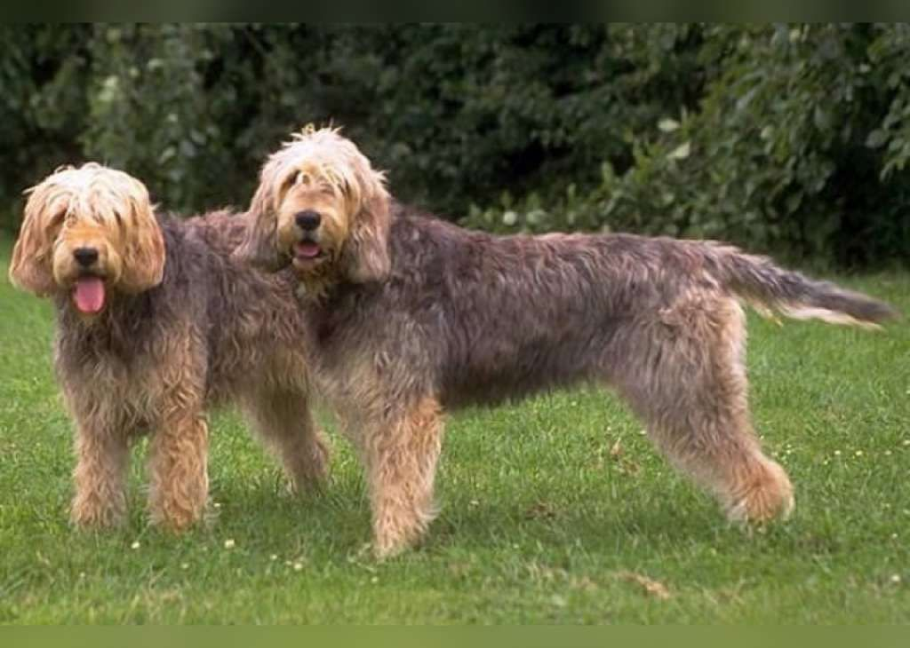 Otterhound Typical Max Height 27 Inches Typical Max Weight 115 Pounds This English Breed Was Bred To Hunt O British Dog Breeds Otterhound Big Dog Breeds