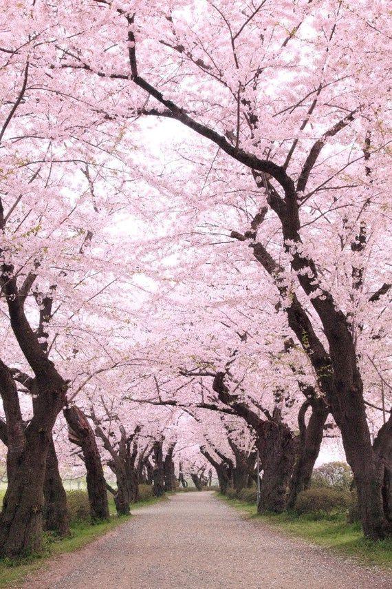 Art Bag Blossoms Canvas Cherry Metal Orchard Prints Signs Themostbeautifulplacesintheworldtog Beautiful Nature Cherry Blossom Season Tree Photography