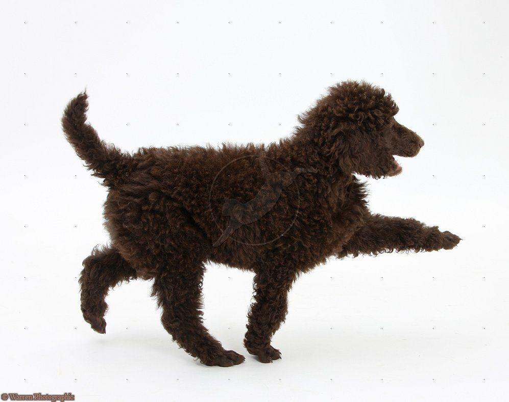 Red standard poodle puppies for sale australia